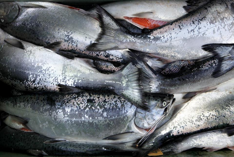 """A cooler sits full of salmon after a day of sport fishing on the """"New Sea Angler"""" in Bodega Bay. (Photo by Beth Schlanker)"""