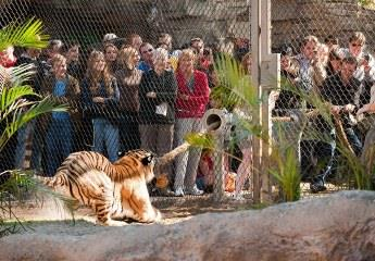 cool stuff tiger in zoo in front of people whatsapp dp